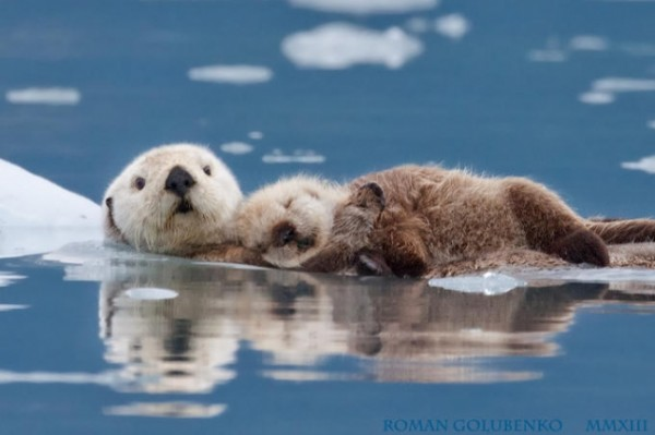 seaotters02-645x429