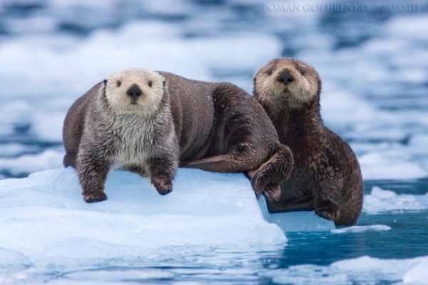 seaotters03-645x430