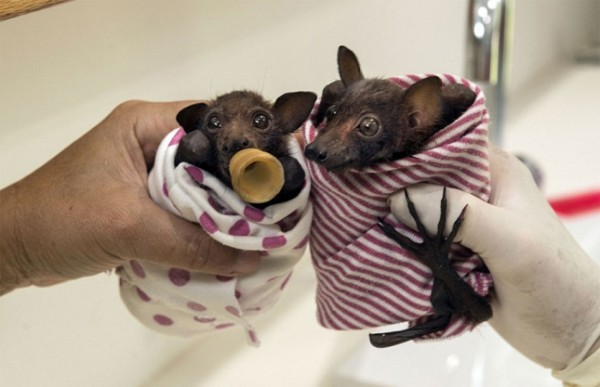 abandoned-baby-bat-pup-tolga-bat-hospital-10-645x417