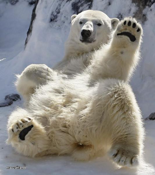 beliy-polyarniy-medved