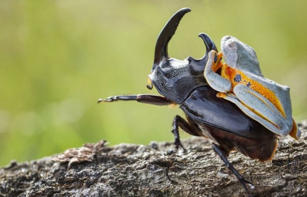 Frog-Riding-Beetle-1-670x431