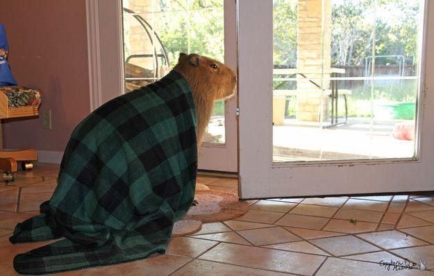 1368716915_capybaras_10