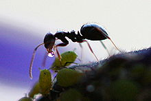 220px-Ant_Receives_Honeydew_from_Aphid