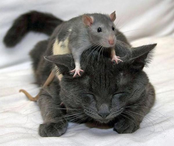 4-крыса на голове кота1