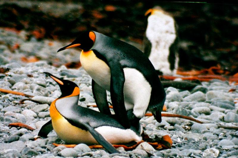 crazy_penguin_sex-1024x682