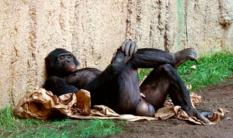 Пенис горилы