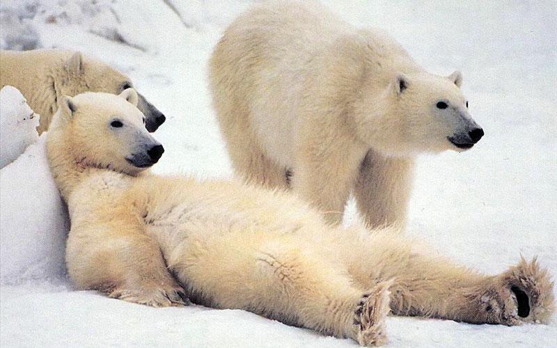 1300635418_polar-bears-27_nevseoboi.com