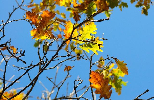 Осенние листики дуба