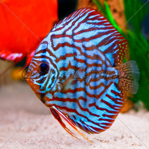 tropical fish blue and copper