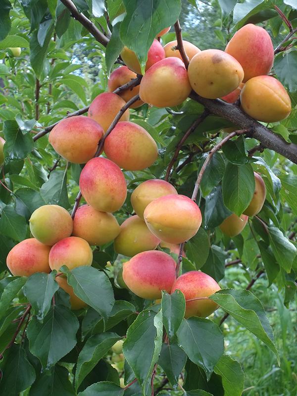 абрикосик