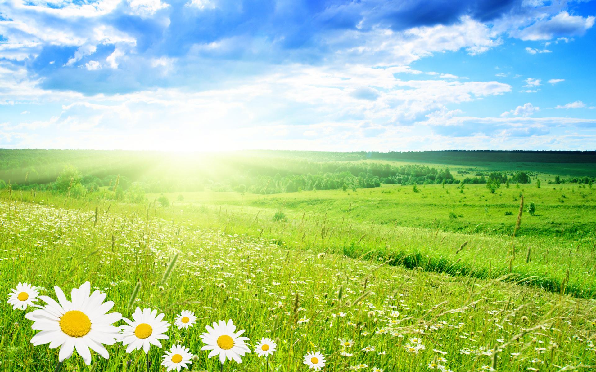 155683 pole romashka zelen leto 1920x1200 www gdefon ru