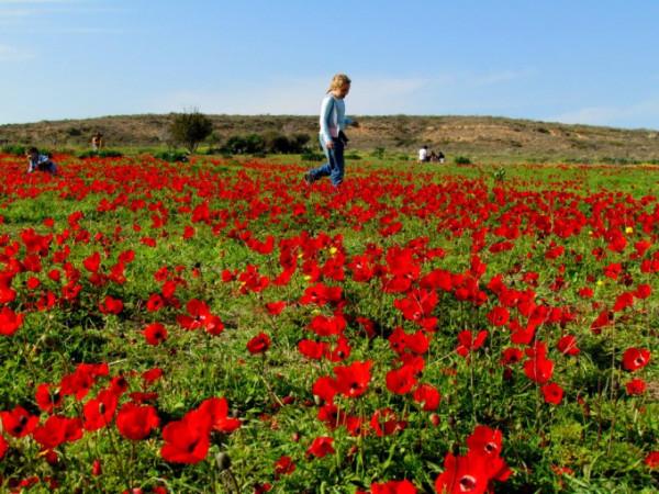 Цветение анемонов в Изреельской долине, Израиль. © Галина Маламант 1