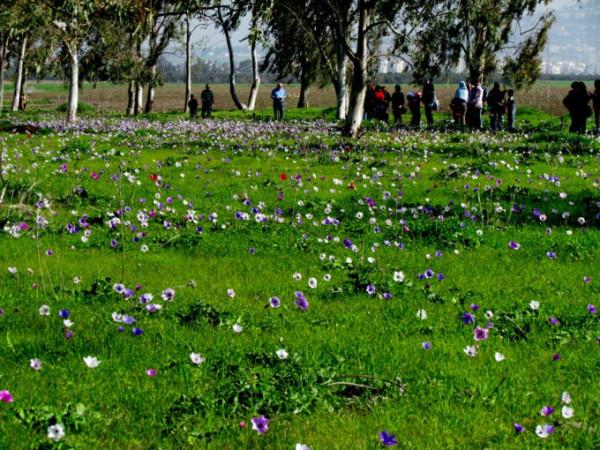 Цветение анемонов в Изреельской долине, Израиль. © Галина Маламант