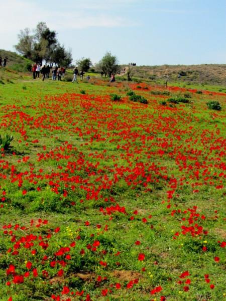 Цветение анемонов в Изреельской долине, Израиль. © Галина Маламант2