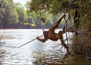 Орангутанги ловят рыбу удочками