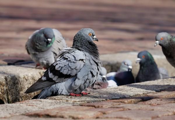 pigeons-3268990_1280