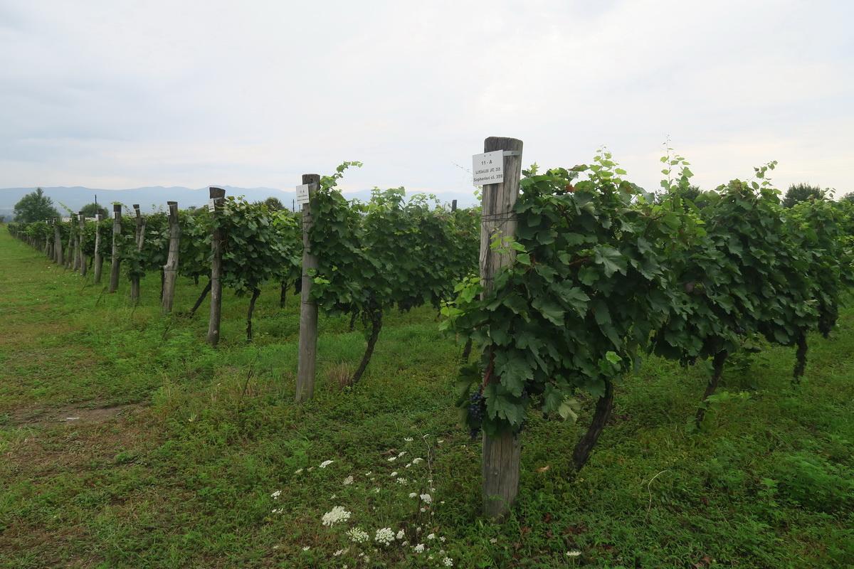 Кахетия, винодельня Киндзмараули Марани