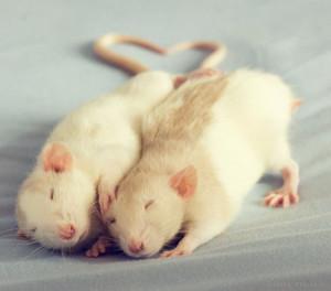1339098073_cute_rat_031