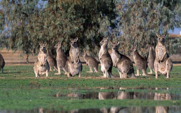 0017-021-Staja-kenguru