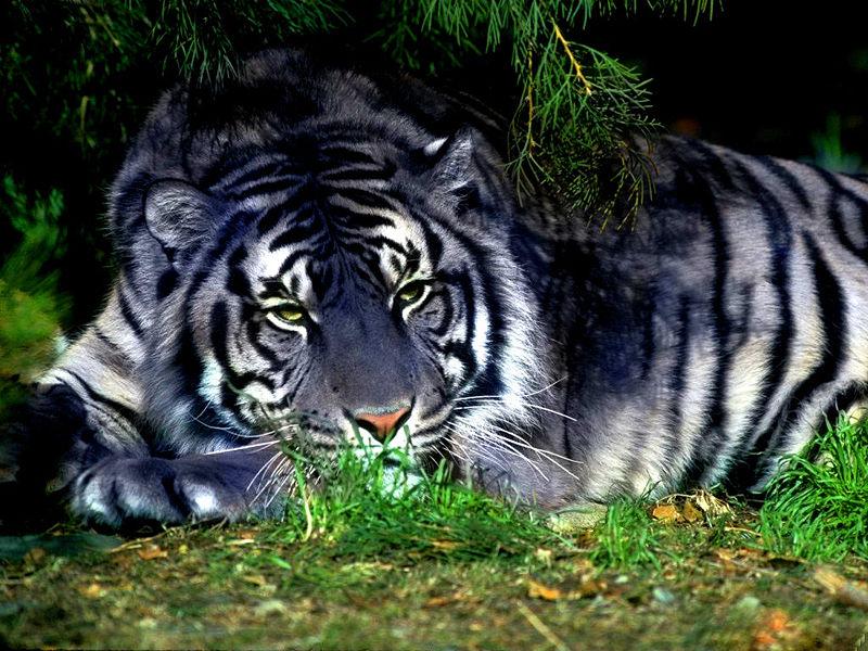 Черный лев и черно-белый тигр. 97253029