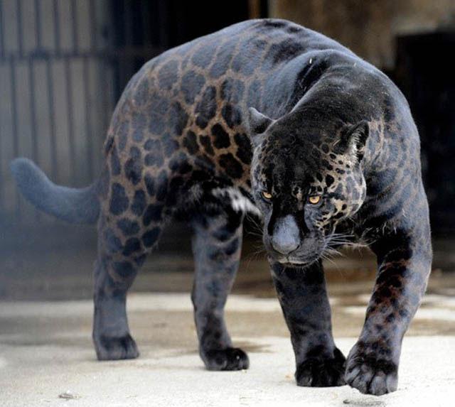 Черный лев и черно-белый тигр. Melanizm_u_jivotnyih_1