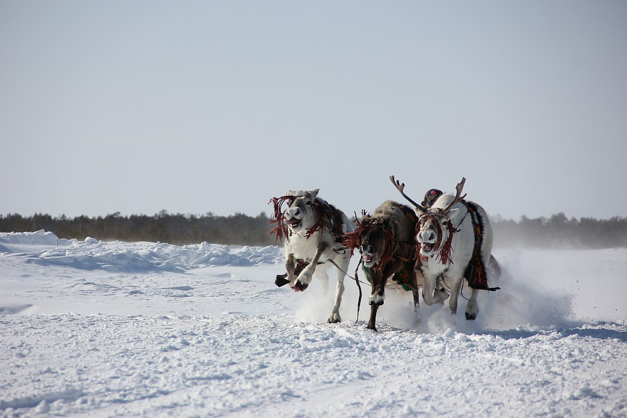 Олени, Русскинская, гонки, фотография, Аксанов Нияз, kukmor, Сургут, ХМАО, of IMG_4111