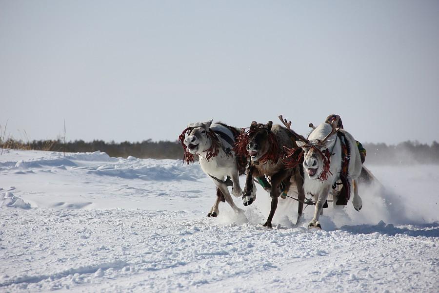 Олени, Русскинская, гонки, фотография, Аксанов Нияз, kukmor, Сургут, ХМАО, of IMG_4112