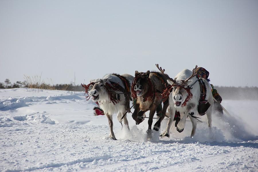 Олени, Русскинская, гонки, фотография, Аксанов Нияз, kukmor, Сургут, ХМАО, of IMG_4113