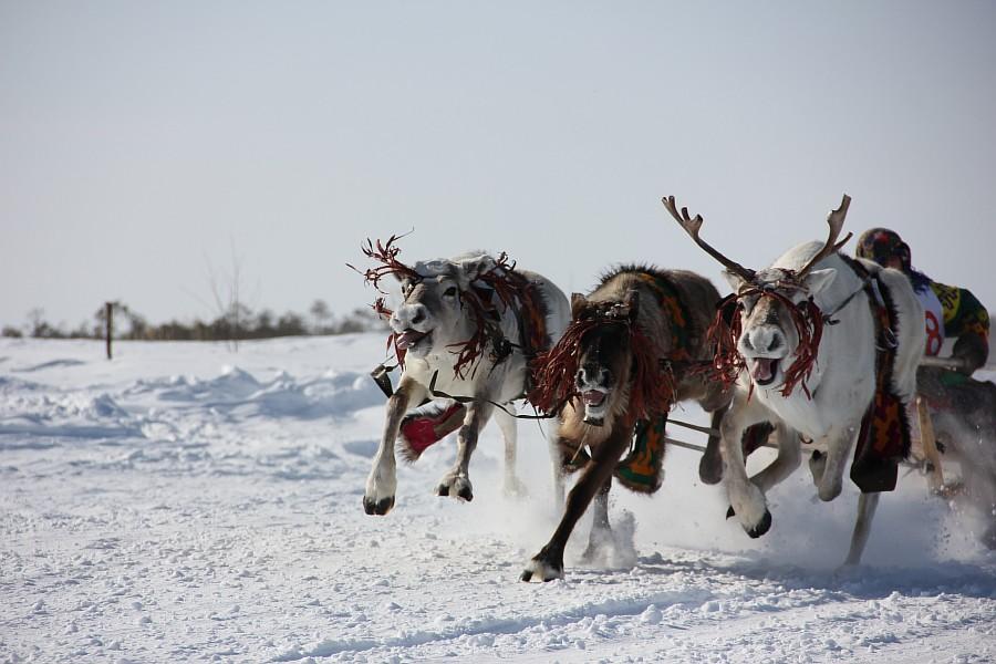 Олени, Русскинская, гонки, фотография, Аксанов Нияз, kukmor, Сургут, ХМАО, of IMG_4114