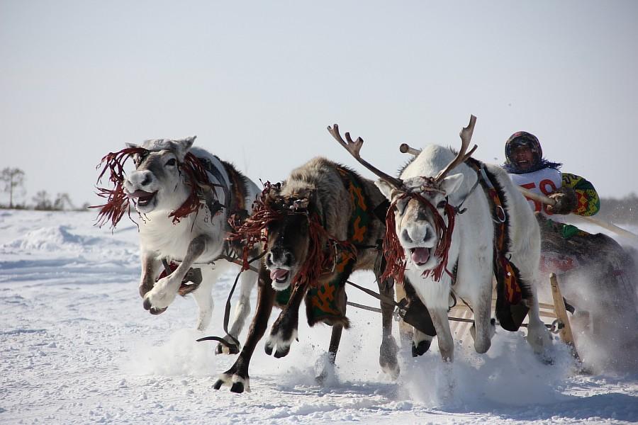 Олени, Русскинская, гонки, фотография, Аксанов Нияз, kukmor, Сургут, ХМАО, of IMG_4115