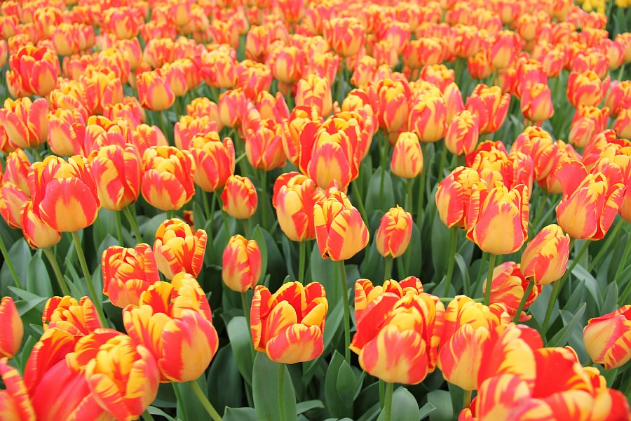 Цветы, тюльпаны, Эмирган, Стамбул, путешествия, Аксанов Нияз, фотография, Emirgan, Istanbul, kukmor, of IMG_4172
