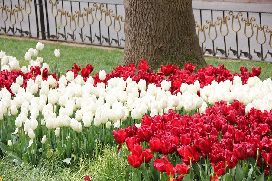 Цветы, тюльпаны, Эмирган, Стамбул, путешествия, Аксанов Нияз, фотография, Emirgan, Istanbul, kukmor, of IMG_4357