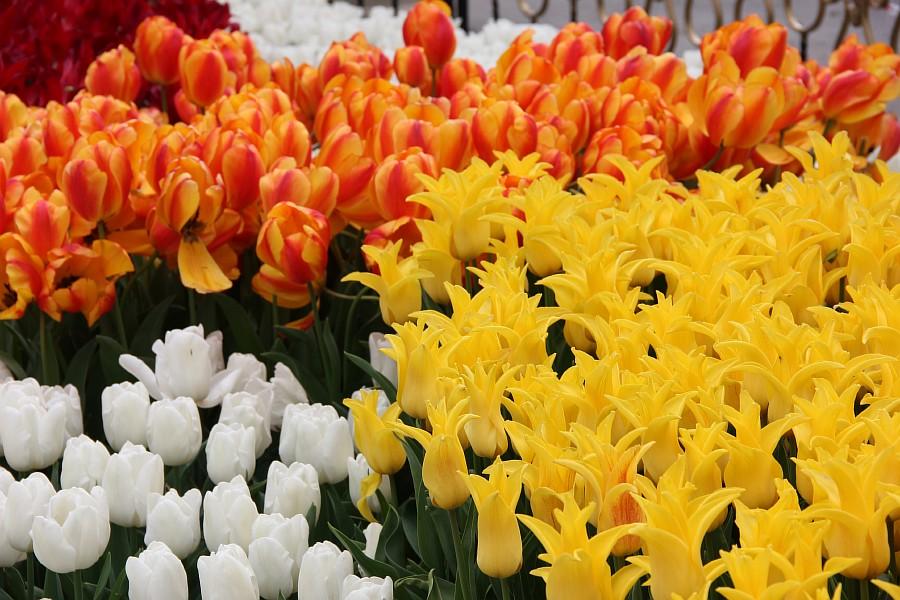 Цветы, тюльпаны, Эмирган, Стамбул, путешествия, Аксанов Нияз, фотография, Emirgan, Istanbul, kukmor, of IMG_4366