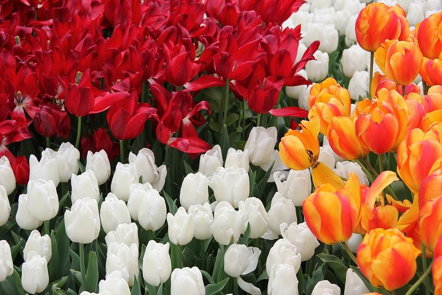 Цветы, тюльпаны, Эмирган, Стамбул, путешествия, Аксанов Нияз, фотография, Emirgan, Istanbul, kukmor, of IMG_4368