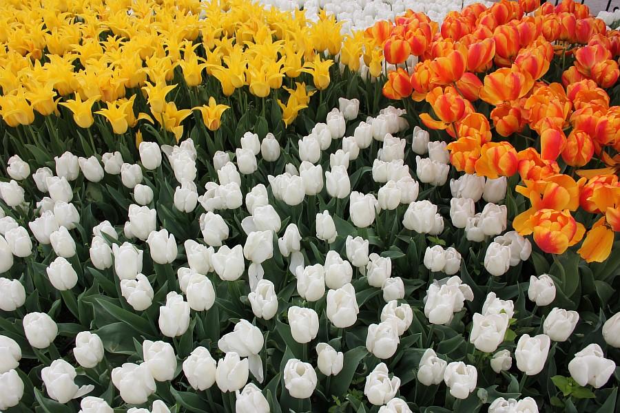 Цветы, тюльпаны, Эмирган, Стамбул, путешествия, Аксанов Нияз, фотография, Emirgan, Istanbul, kukmor, of IMG_4369