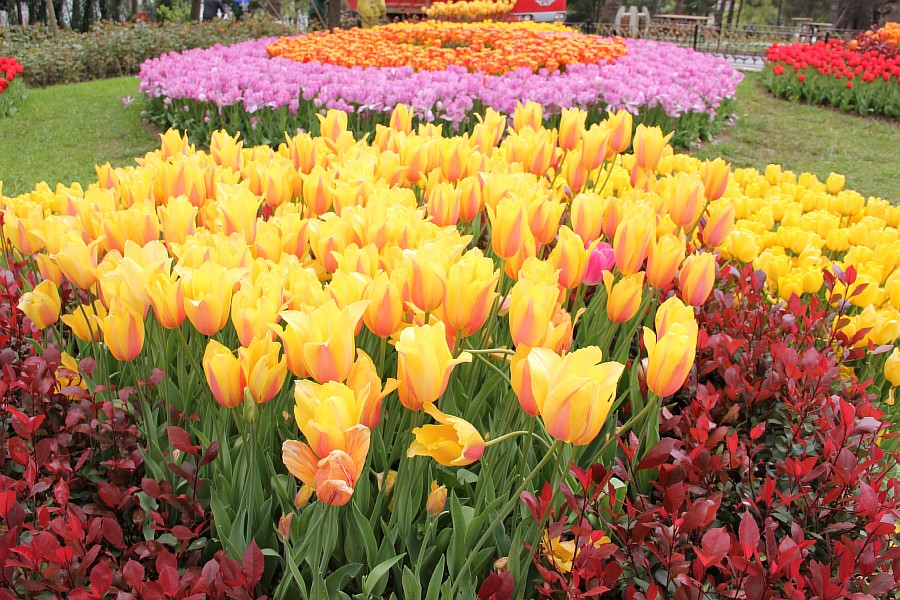 Цветы, тюльпаны, Эмирган, Стамбул, путешествия, Аксанов Нияз, фотография, Emirgan, Istanbul, kukmor, of IMG_4373