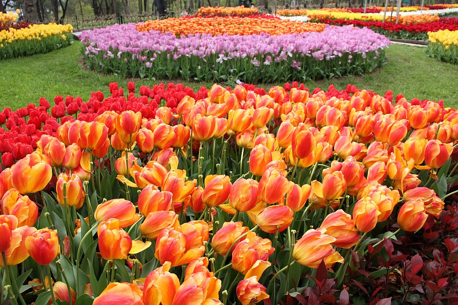 Цветы, тюльпаны, Эмирган, Стамбул, путешествия, Аксанов Нияз, фотография, Emirgan, Istanbul, kukmor, of IMG_4375