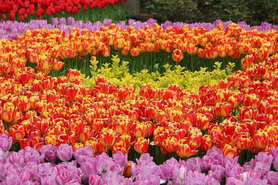 Цветы, тюльпаны, Эмирган, Стамбул, путешествия, Аксанов Нияз, фотография, Emirgan, Istanbul, kukmor, of IMG_4378