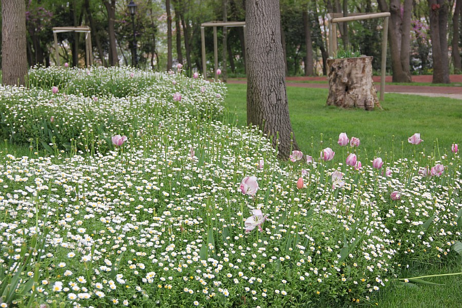 Цветы, тюльпаны, Эмирган, Стамбул, путешествия, Аксанов Нияз, фотография, Emirgan, Istanbul, kukmor, of IMG_4379