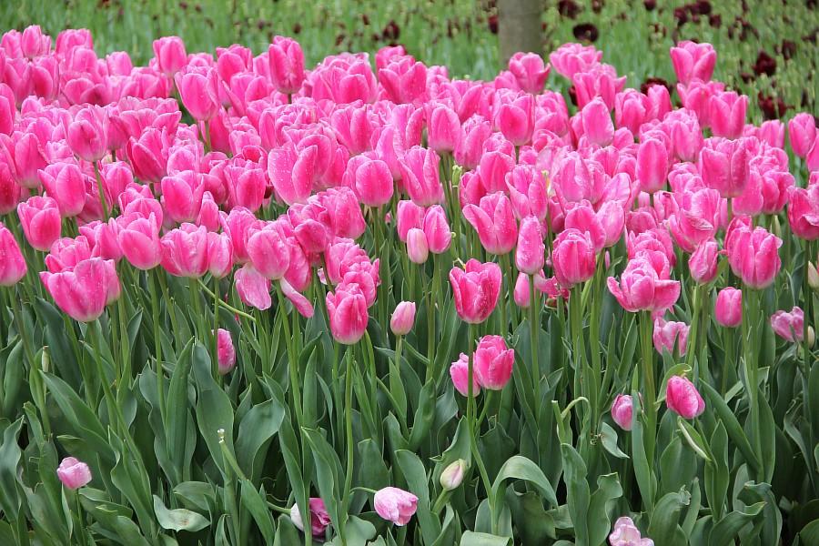 Цветы, тюльпаны, Эмирган, Стамбул, путешествия, Аксанов Нияз, фотография, Emirgan, Istanbul, kukmor, of IMG_4386