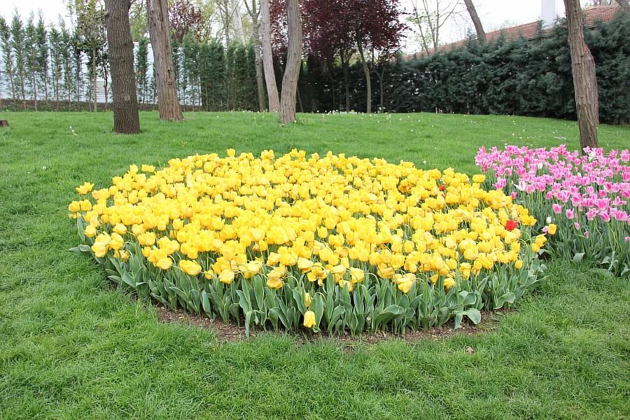 Цветы, тюльпаны, Эмирган, Стамбул, путешествия, Аксанов Нияз, фотография, Emirgan, Istanbul, kukmor, of IMG_4396
