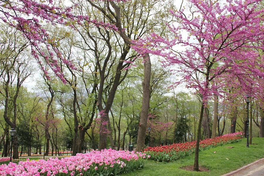 Цветы, тюльпаны, Эмирган, Стамбул, путешествия, Аксанов Нияз, фотография, Emirgan, Istanbul, kukmor, of IMG_4398