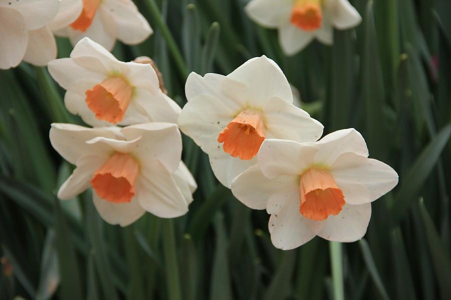 Цветы, тюльпаны, Эмирган, Стамбул, путешествия, Аксанов Нияз, фотография, Emirgan, Istanbul, kukmor, of IMG_4403