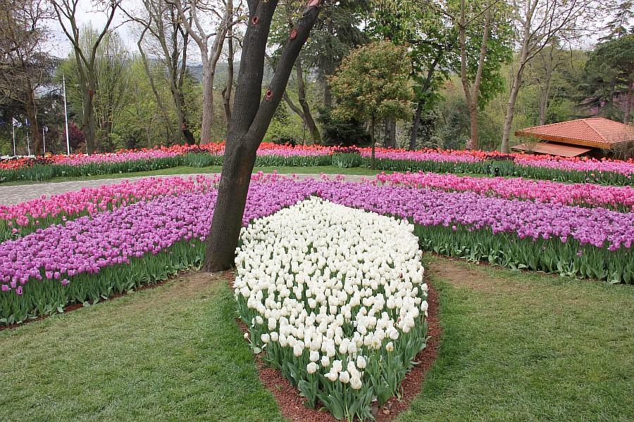 Цветы, тюльпаны, Эмирган, Стамбул, путешествия, Аксанов Нияз, фотография, Emirgan, Istanbul, kukmor, of IMG_4407