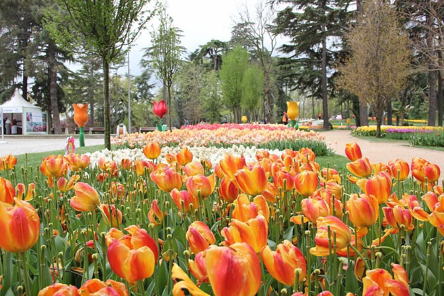 Цветы, тюльпаны, Эмирган, Стамбул, путешествия, Аксанов Нияз, фотография, Emirgan, Istanbul, kukmor, of IMG_4463