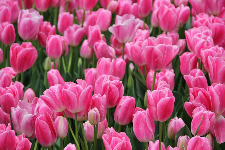 Цветы, тюльпаны, Эмирган, Стамбул, путешествия, Аксанов Нияз, фотография, Emirgan, Istanbul, kukmor, of IMG_4464