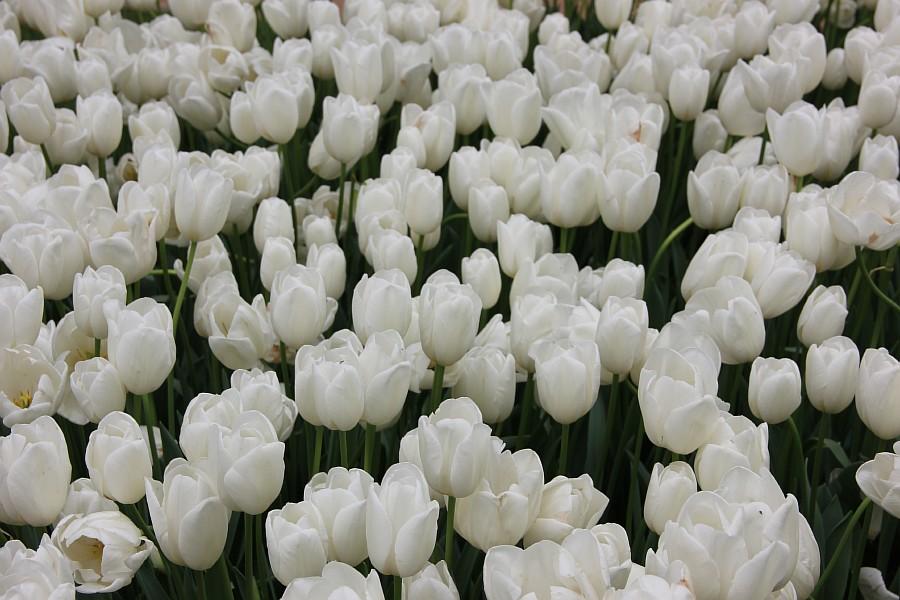 Цветы, тюльпаны, Эмирган, Стамбул, путешествия, Аксанов Нияз, фотография, Emirgan, Istanbul, kukmor, of IMG_4466