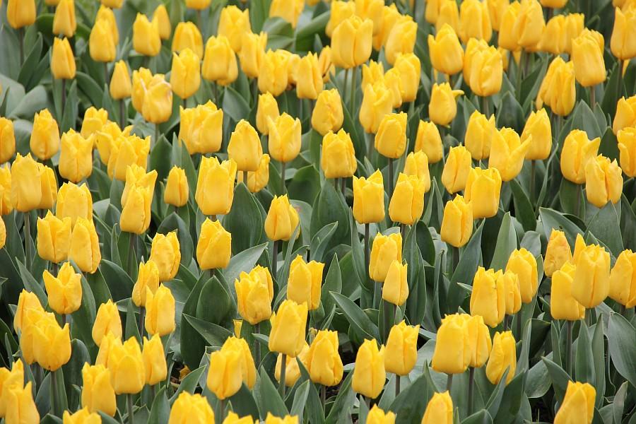 Цветы, тюльпаны, Эмирган, Стамбул, путешествия, Аксанов Нияз, фотография, Emirgan, Istanbul, kukmor, of IMG_4471