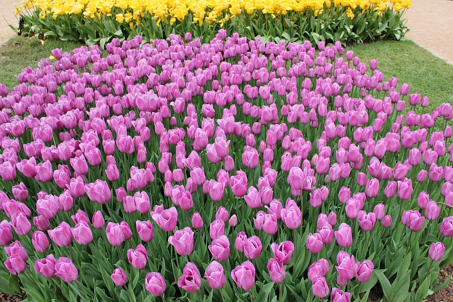 Цветы, тюльпаны, Эмирган, Стамбул, путешествия, Аксанов Нияз, фотография, Emirgan, Istanbul, kukmor, of IMG_4473