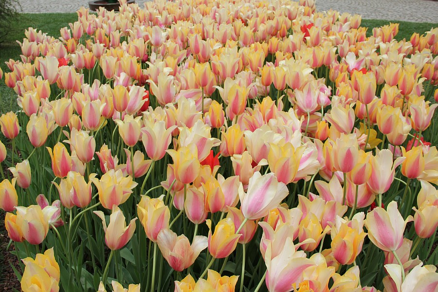 Цветы, тюльпаны, Эмирган, Стамбул, путешествия, Аксанов Нияз, фотография, Emirgan, Istanbul, kukmor, of IMG_4474
